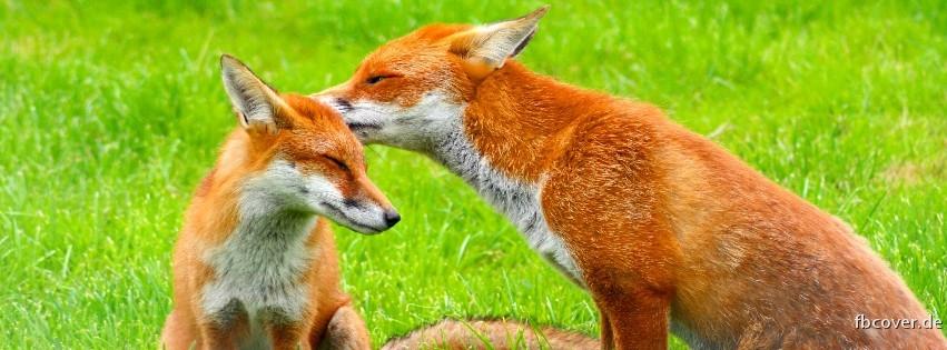 Two foxes in the meadow - Two foxes in the meadow