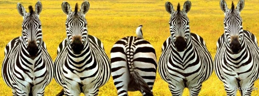 Five zebras. - Zebra