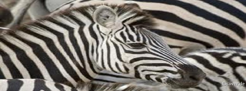 zebras - zebras