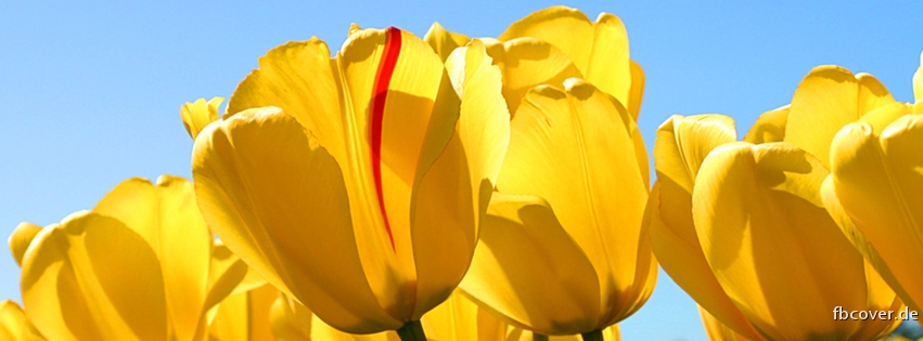 Yellow tulips - Yellow tulips is a sign of love